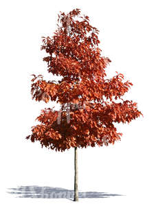 cut out medium tree with red leaves