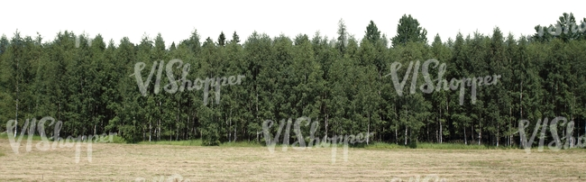 cut out landscape with birch forest