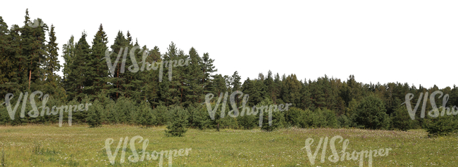 cut out background wih a meadow and tall spruces in the back