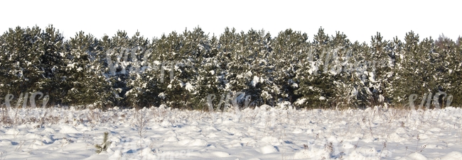 field of snow with a row of firs