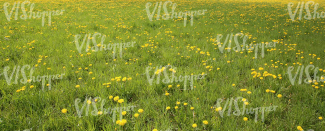 grass field with dandelions
