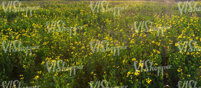 field of blooming yellow flowers