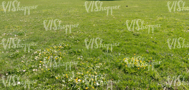 lawn with some spearwort and daisies
