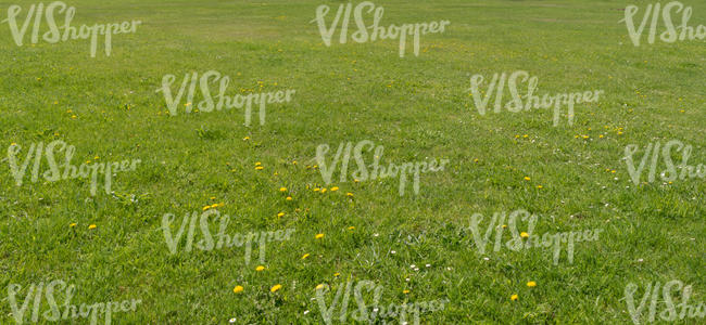 lawn with some dandelions