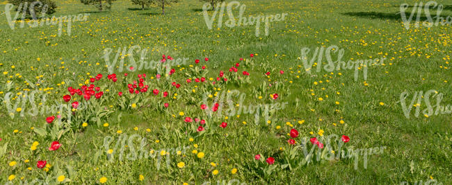 ground with dandelions and tulips