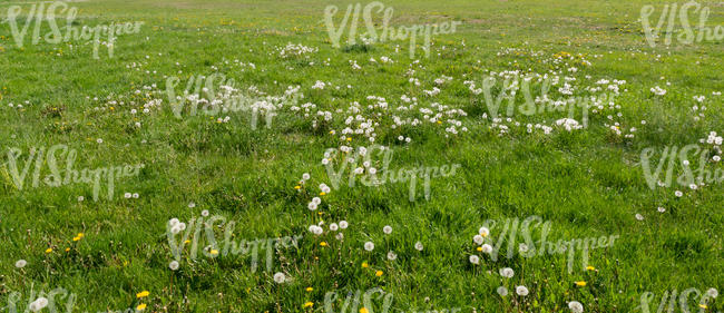 grass with bloomed dandelions