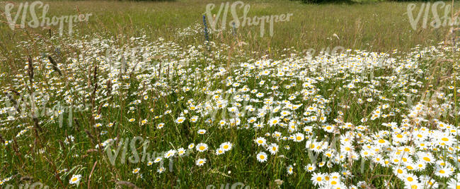 grassland with many daisies