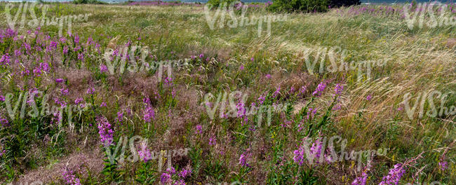 meadow with fireweed