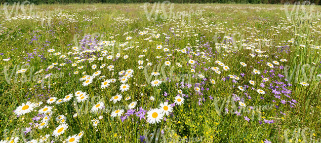 meadow with blooming daisies and bellflowers