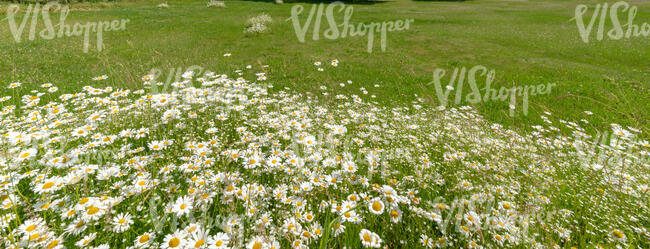 grass field with a bush of daisies in the foreground