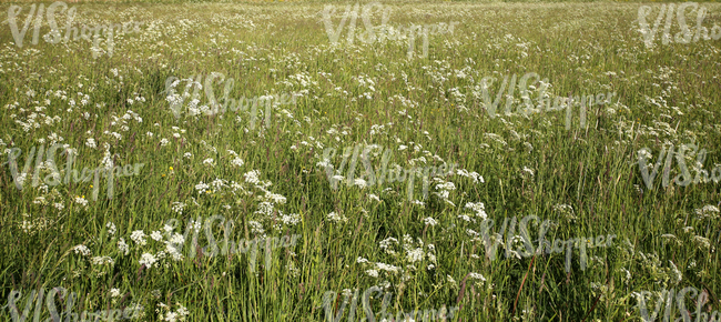 field of tall grass with yarrows