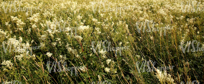 field of meadowsweet