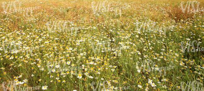 field of tall grass and daisies