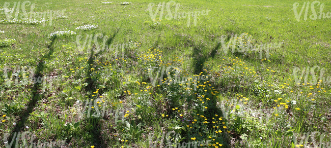 grass ground with spring flowers and tree shadows