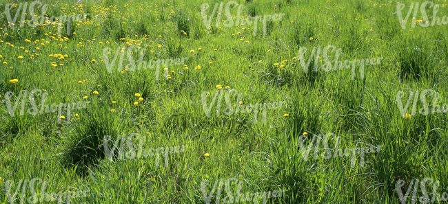 grass ground with dandelions
