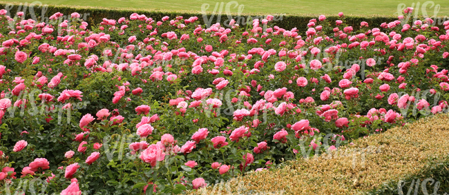 flowerbed of pink roses