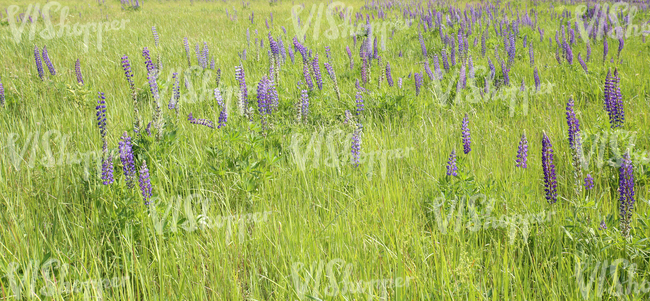 meadow with lupins