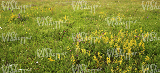 Field of tall grass with yellow bedstraw ground textures vishopper field of tall grass with yellow bedstraw mightylinksfo