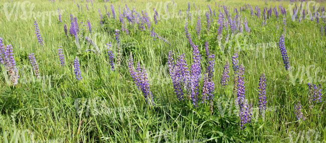 lupins in a field of tall grass