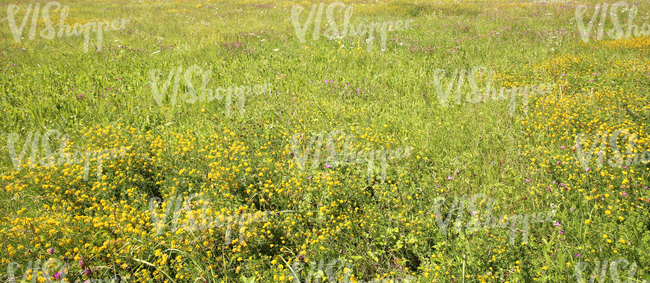 Field of tall grass with yellow alfalfa flowers ground textures field of tall grass with yellow alfalfa flowers mightylinksfo