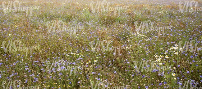 tall grass meadow with cornflowers