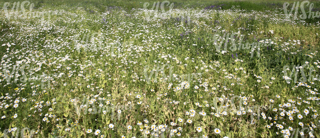 meadow of tall grass and flowers