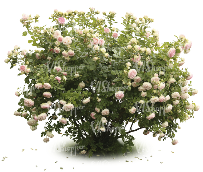 blooming rose bush with pink blossoms