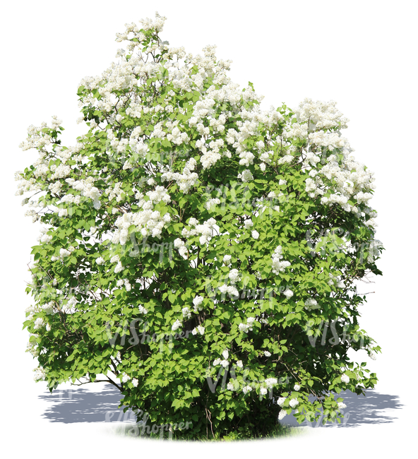 big cut out blooming white lilac