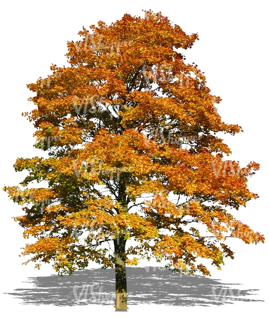 cut out big maple tree with yellow autumn leaves