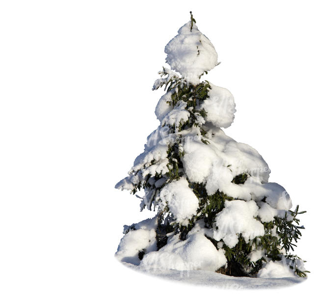 cut out small spruce covered with lot of snow