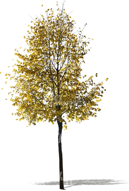 cut out birch with golden leaves