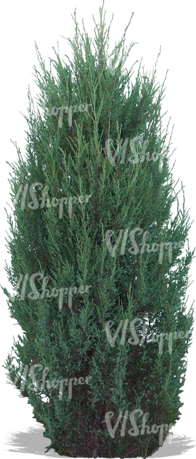 cut out medium thuja