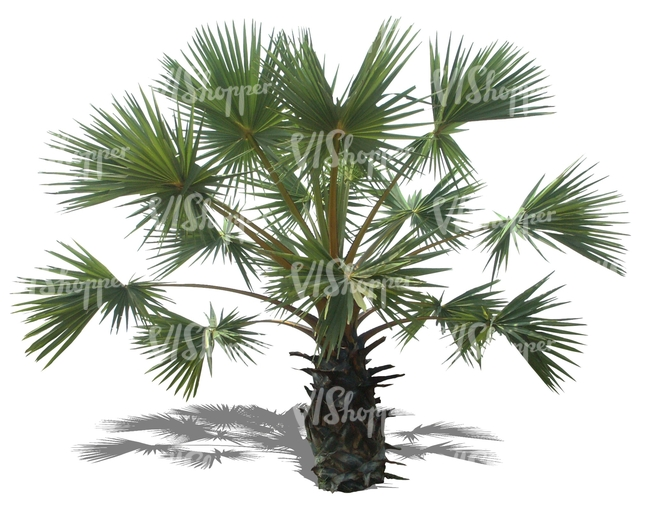 cut out medium palm tree
