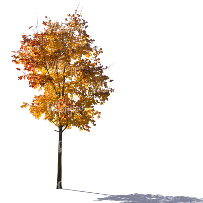 cut out backlit maple tree in autumn