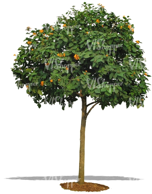 cut out blooming orange tree