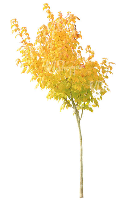 cut out small maple with yellow leaves