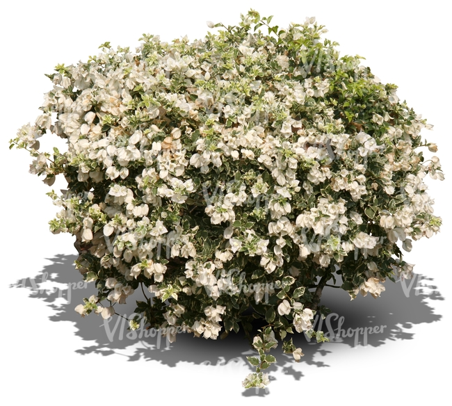 bush with white blossoms