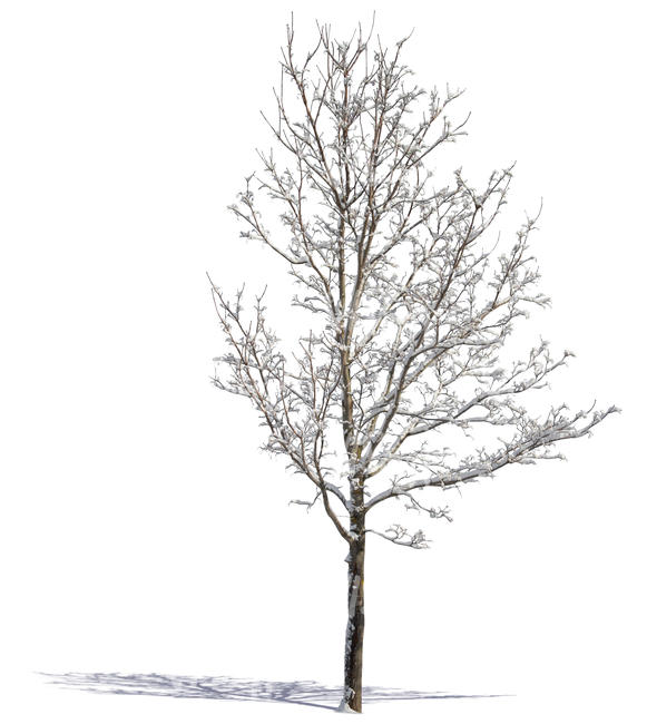 cut out medium tree covered with snow