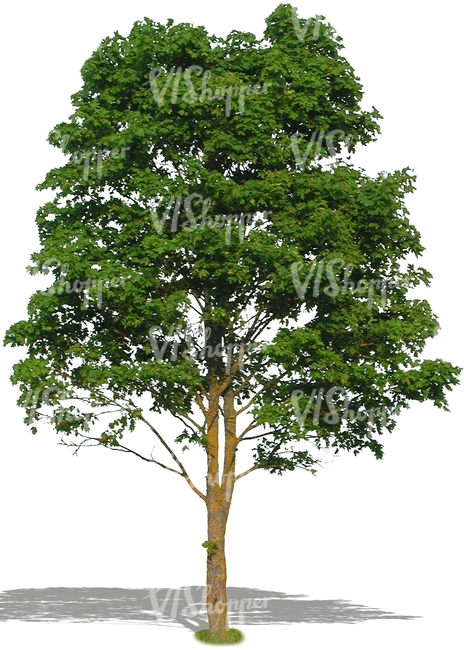 cut out big deciduous tree