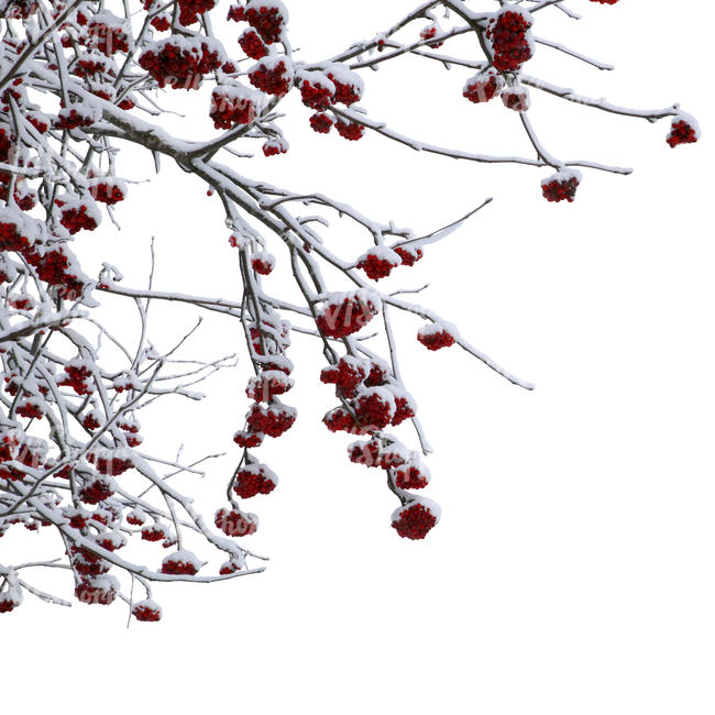 cut out rowan branch covered with snow