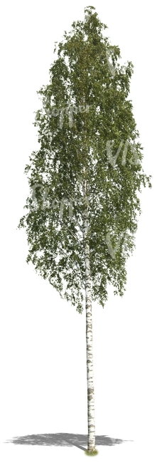 cut out tall birch