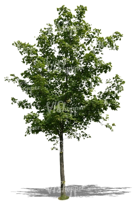 cut out small maple tree
