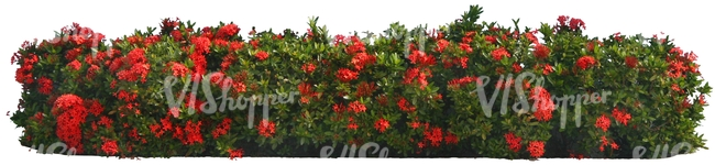 hedge with red blossoms