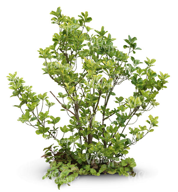 cut out sparse bush