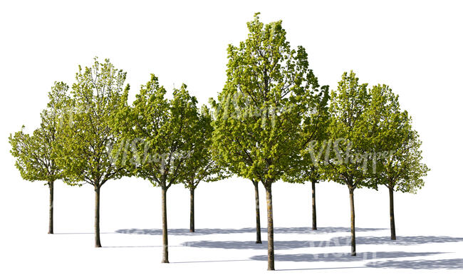 cut out group of medium size linden trees