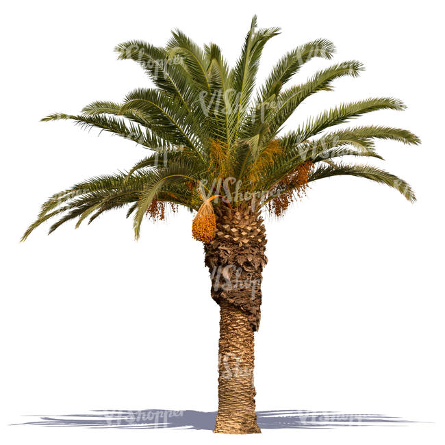 cut out palm tree in sunlight