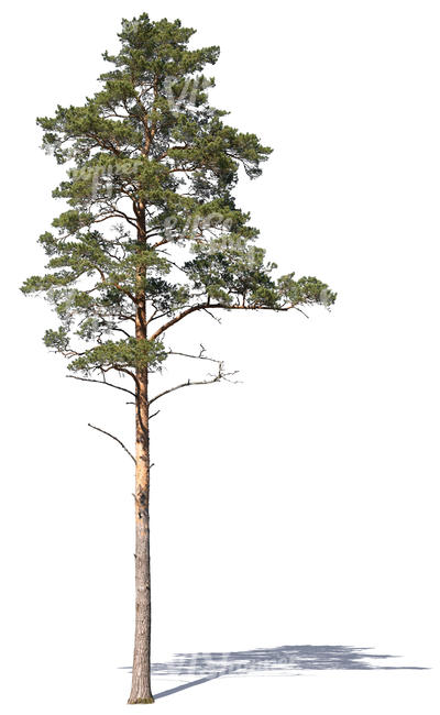 cut out tall pine tree