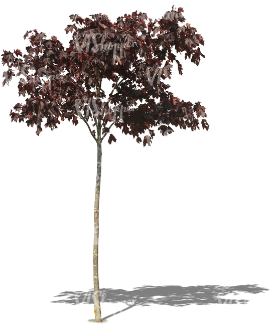 small red maple tree
