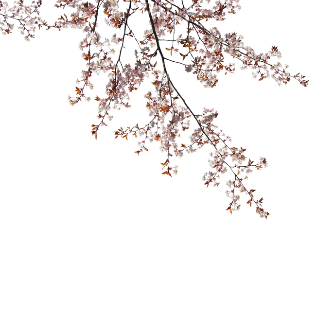 branch of a blooming cherry tree