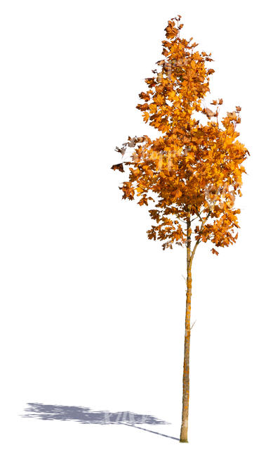 small maple tree with orange leaves